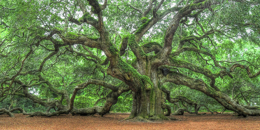 This image has an empty alt attribute; its file name is angel-oak-tree-of-life-johns-island-don-mennig.jpg